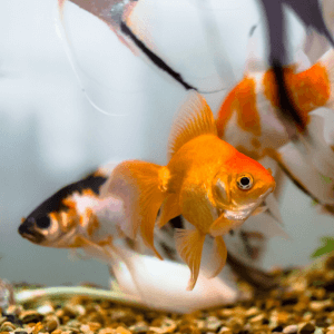 Peștișor